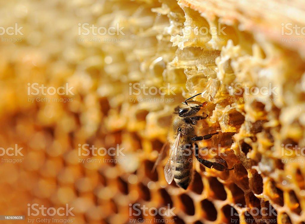 Bee on honeycomb royalty-free stock photo
