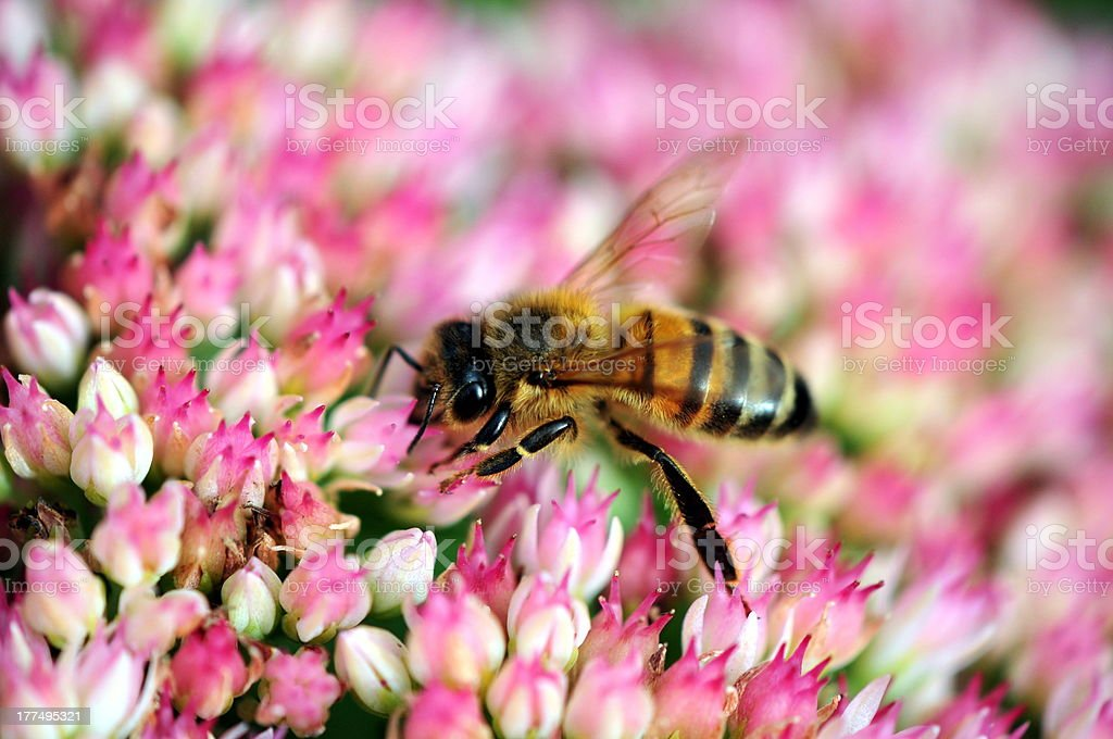 bee on ice plant royalty-free stock photo