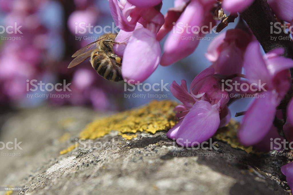 bee on judas tree stock photo