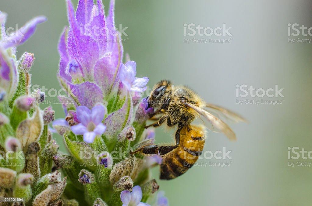 Bee on lavanda stock photo
