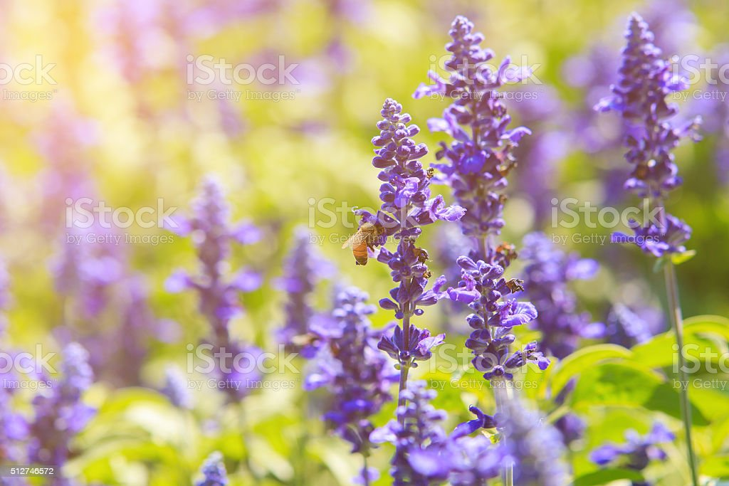 Bee on lavender in soft light,Soft focus stock photo