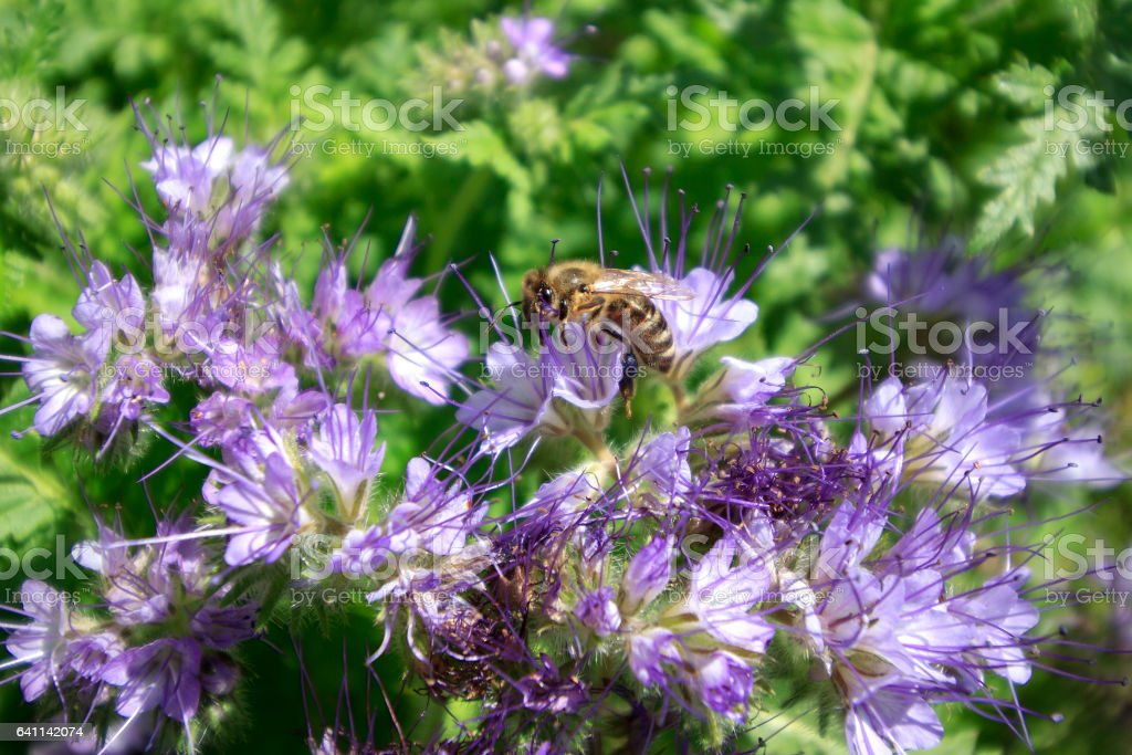 Bee on lilac flower stock photo