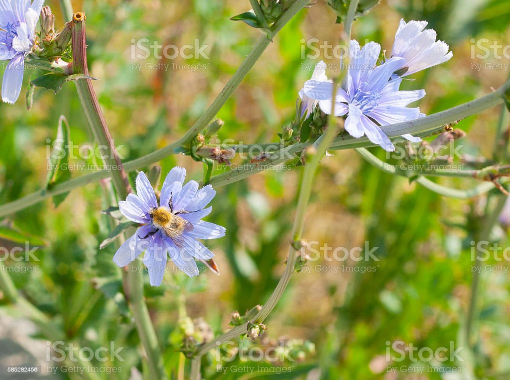 Bee on Malva sylvestris stock photo