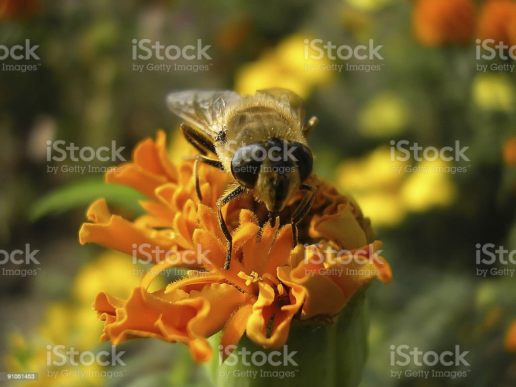 Bee on marygold 2 stock photo