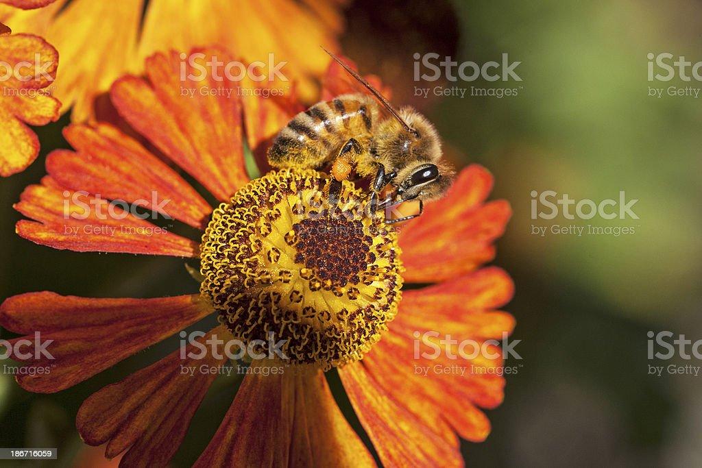 Bee on orange flower royalty-free stock photo
