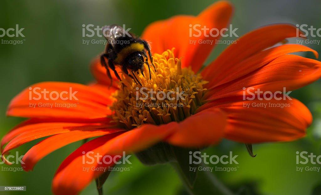 Bee on orange flower stock photo