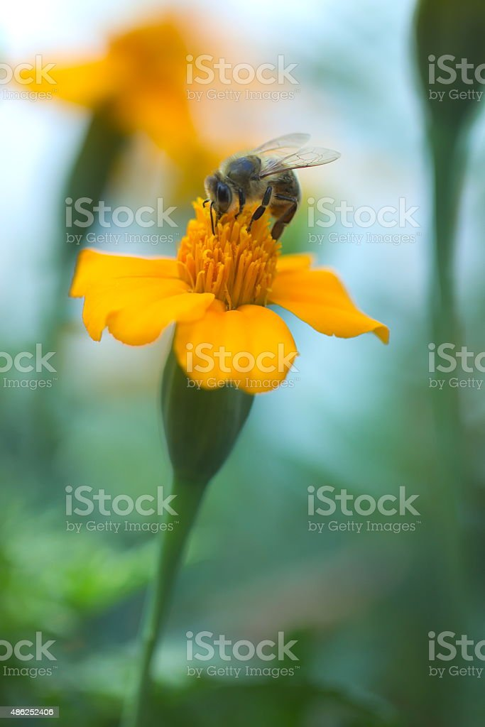 Bee on orange flower - vertical stock photo