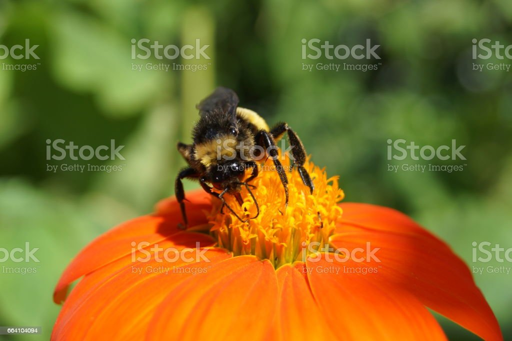 bee on orange Mexican Sunflower stock photo