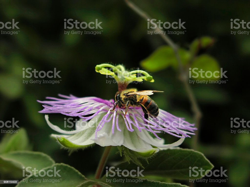 Bee On Passion Flower stock photo