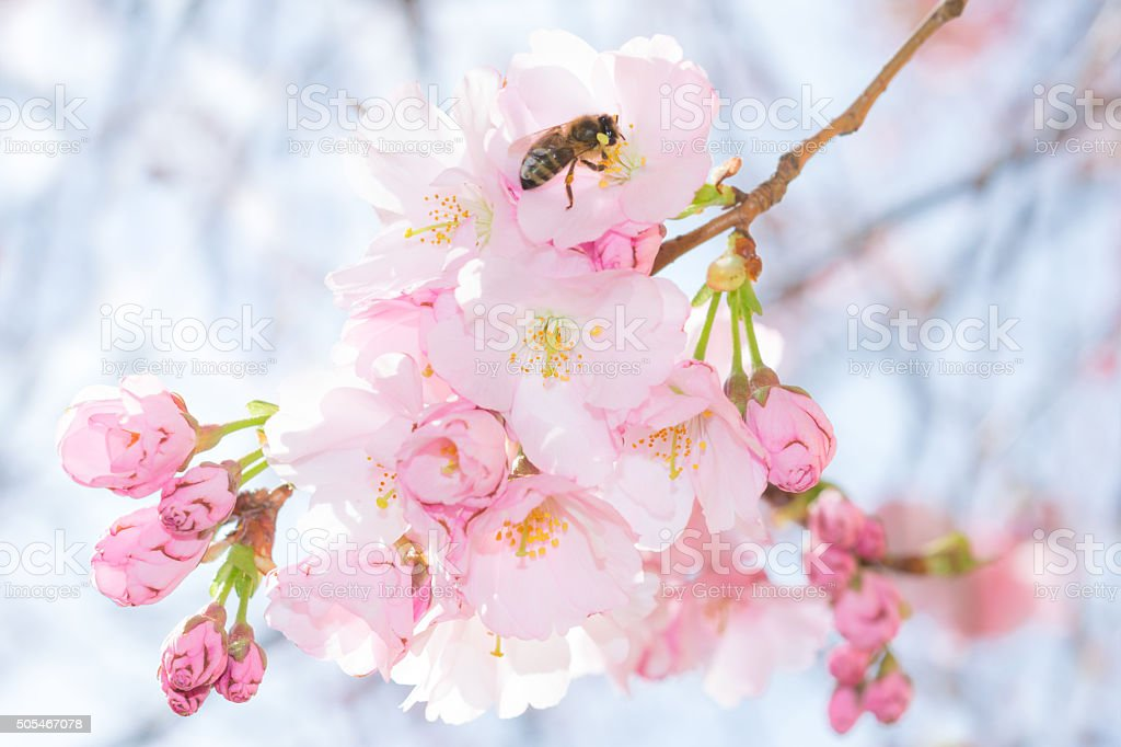 Bee on pastel pink flowers of spring blossoming apple tree stock photo