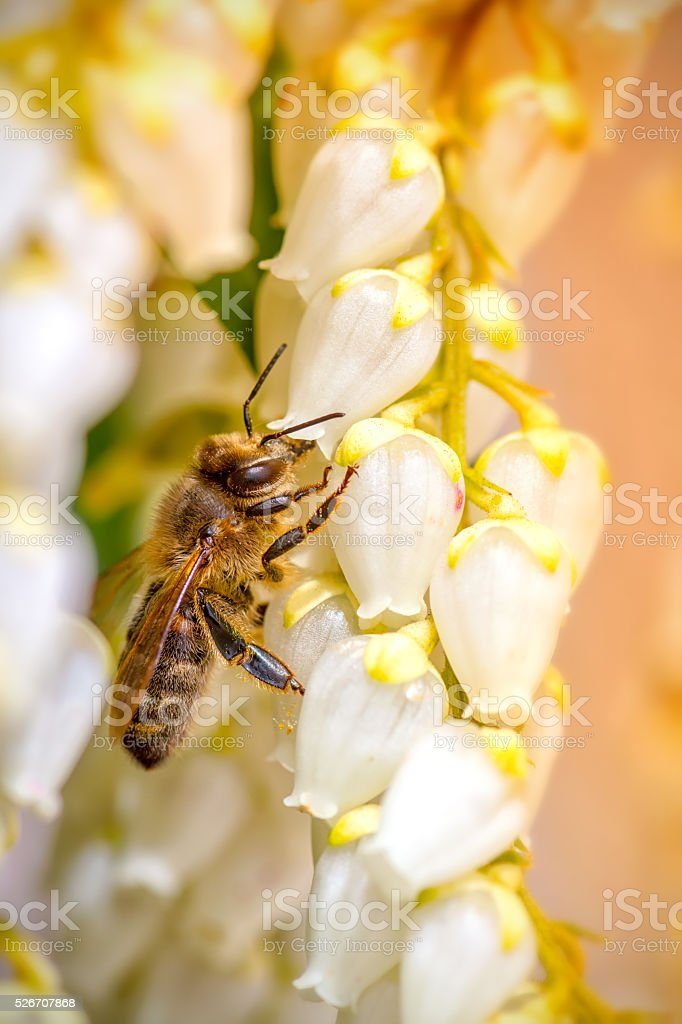 Bee on Pieris Japonica white flowers close-up blossoming in spring stock photo