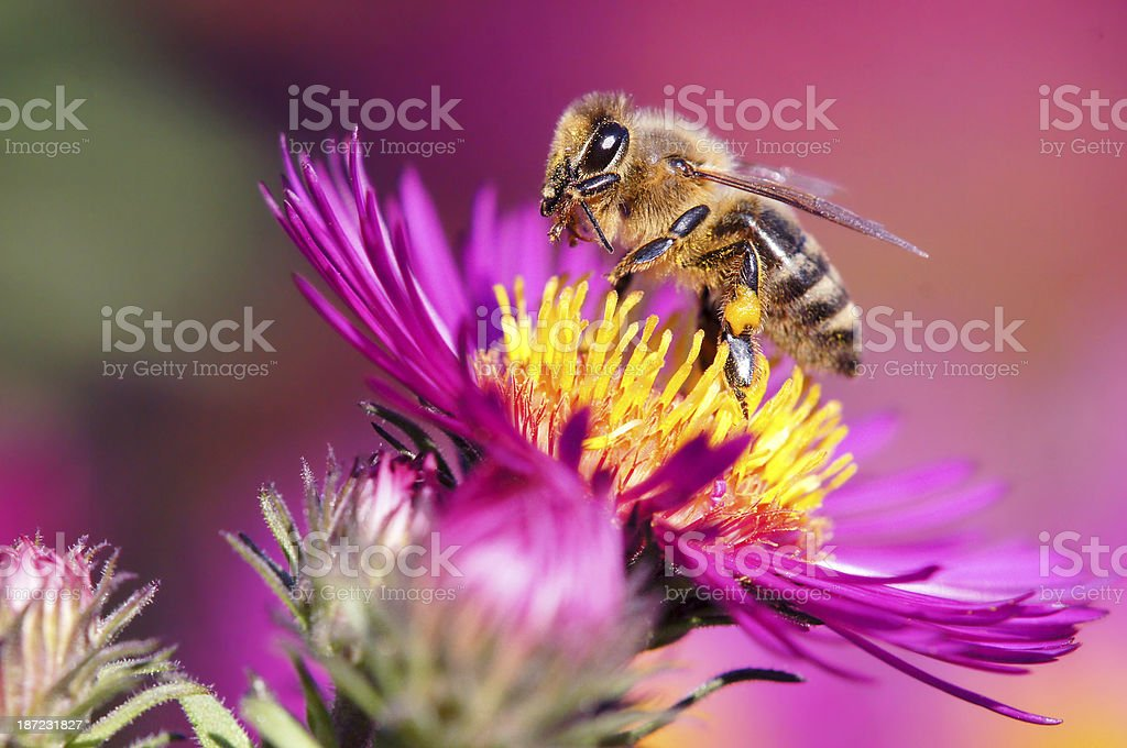 Bee on pink aster royalty-free stock photo