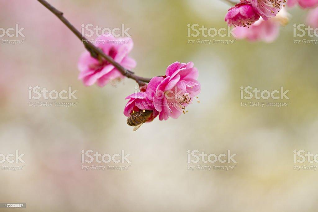 Bee on plum flower  . royalty-free stock photo