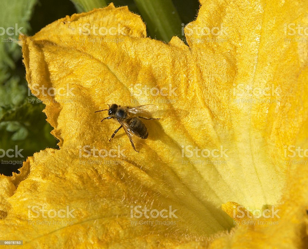 Bee on pumpkin blossom stock photo