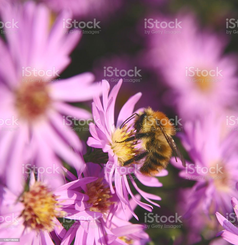 Bee on purple daisy royalty-free stock photo