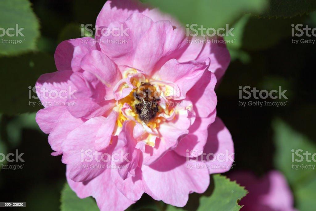 bee on rose stock photo