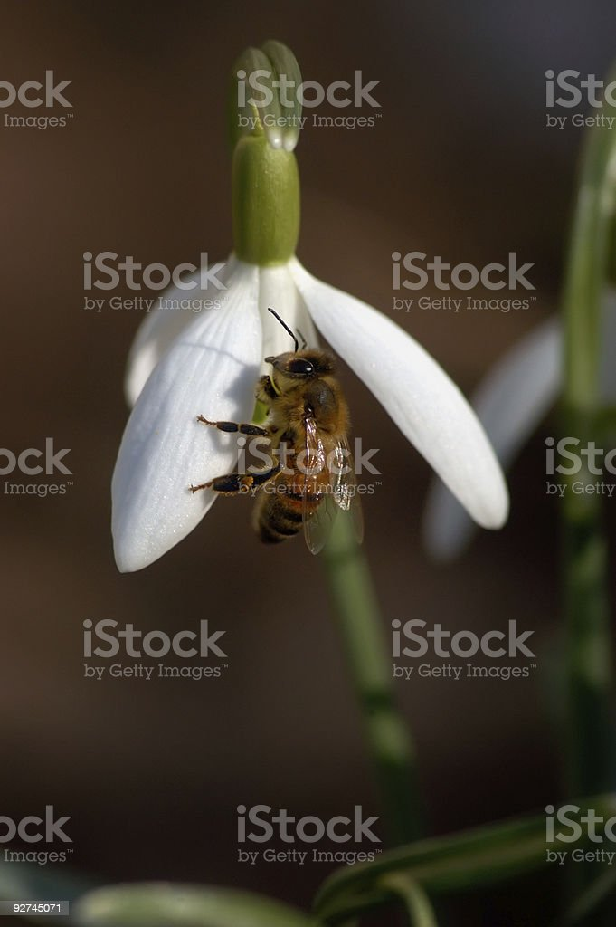 Bee on Snowdrop royalty-free stock photo