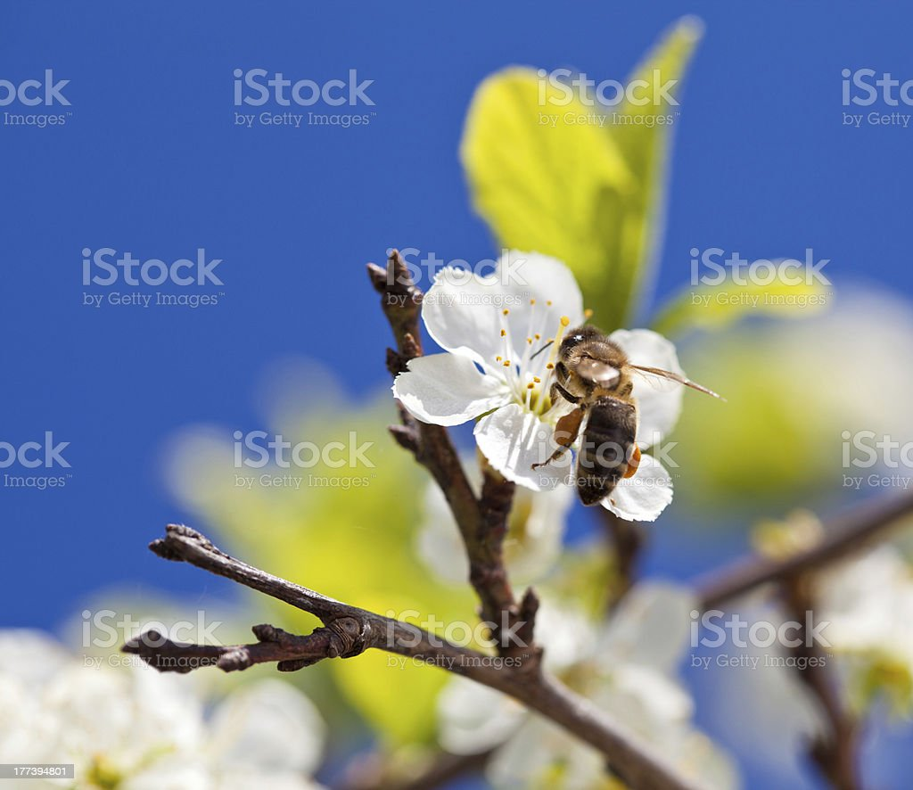 Bee on spring apple blossom stock photo