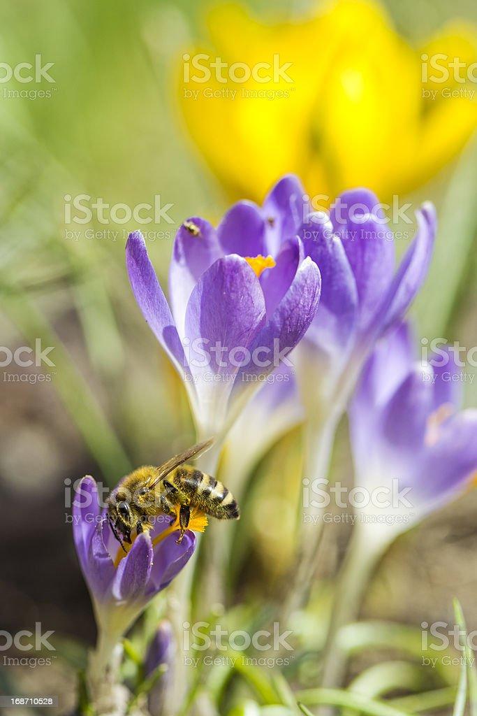 Bee on Spring Crocus royalty-free stock photo