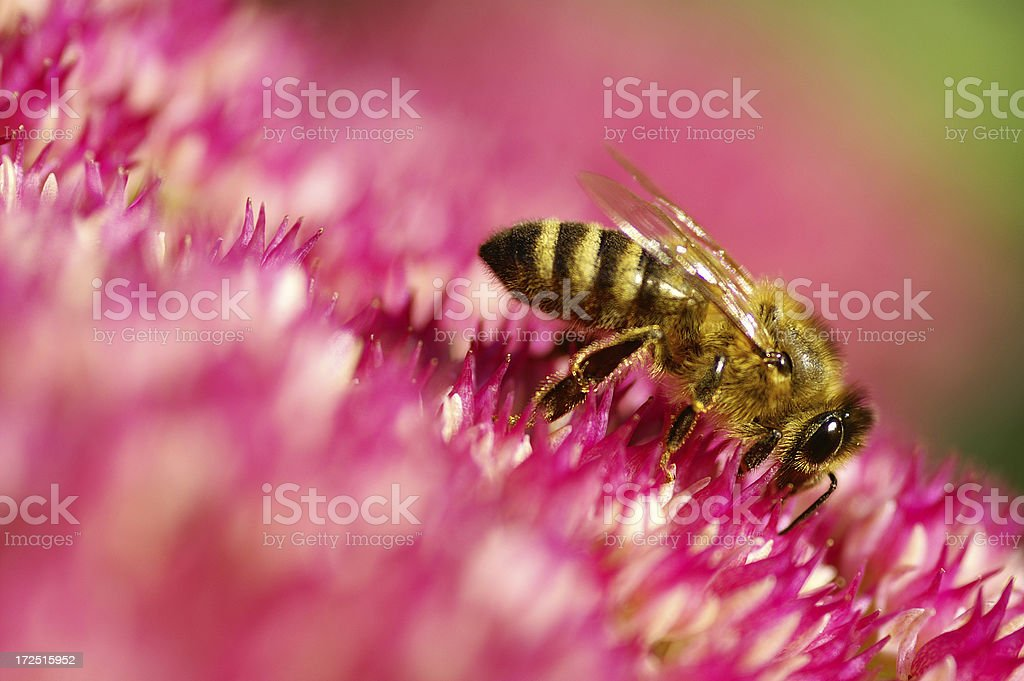 Bee on stonecrop in the afternoon sun stock photo