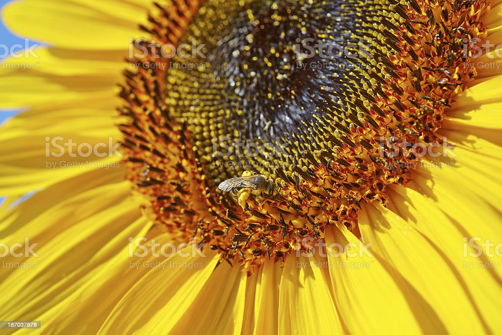 Bee on Sunflower royalty-free stock photo