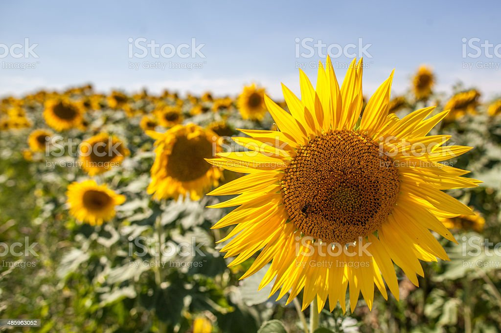 bee on sunflowers in field with natural daylight stock photo