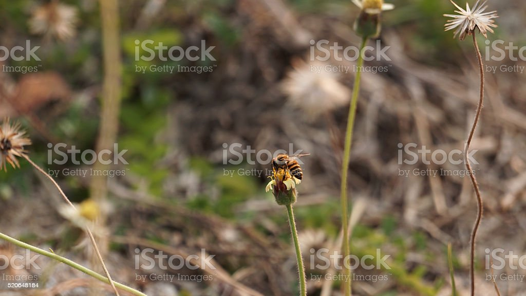 Bee on the flower royalty-free stock photo