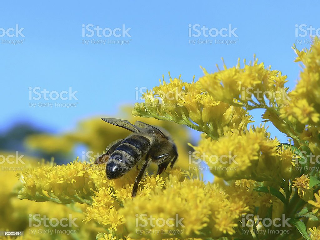 Bee on the flowers royalty-free stock photo