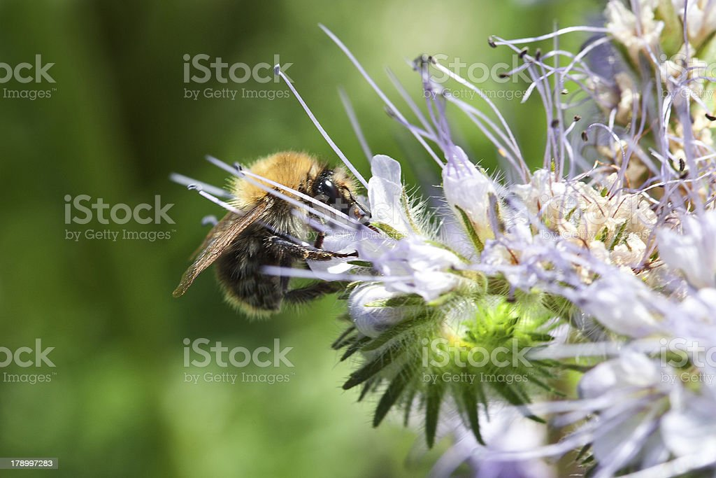 Bee on the phacelia flowers royalty-free stock photo