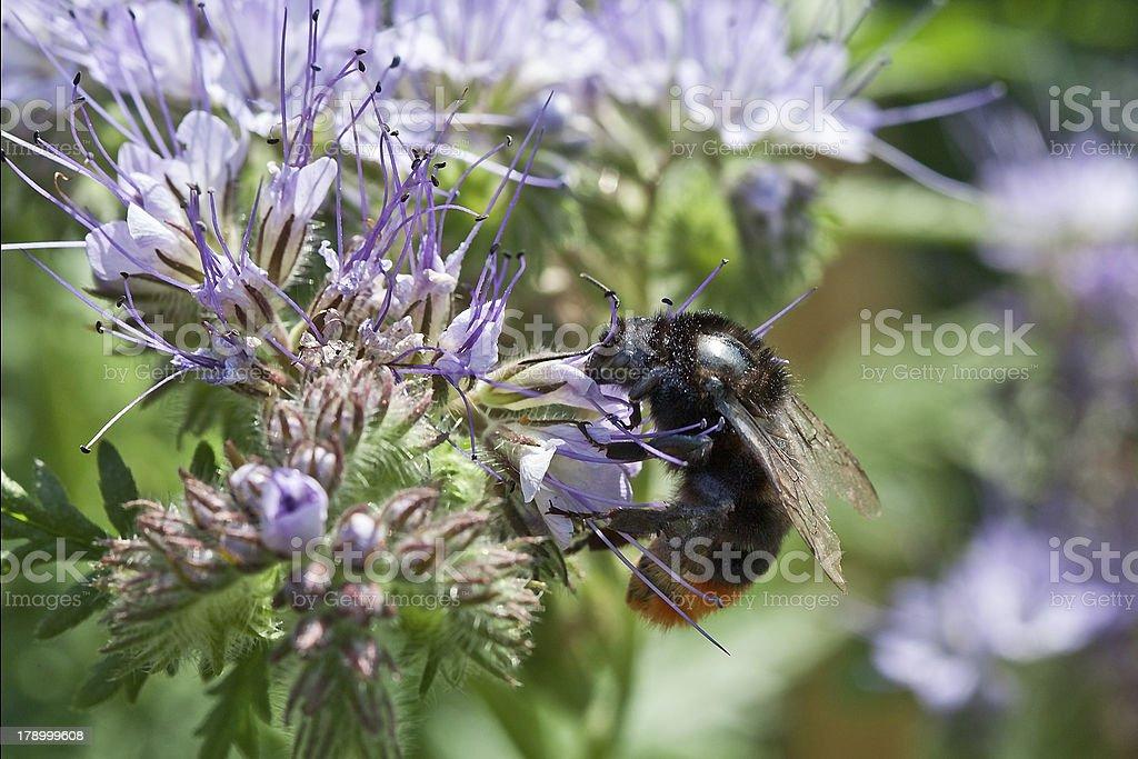 Bee on the phacelia flowers royalty-free stock photo