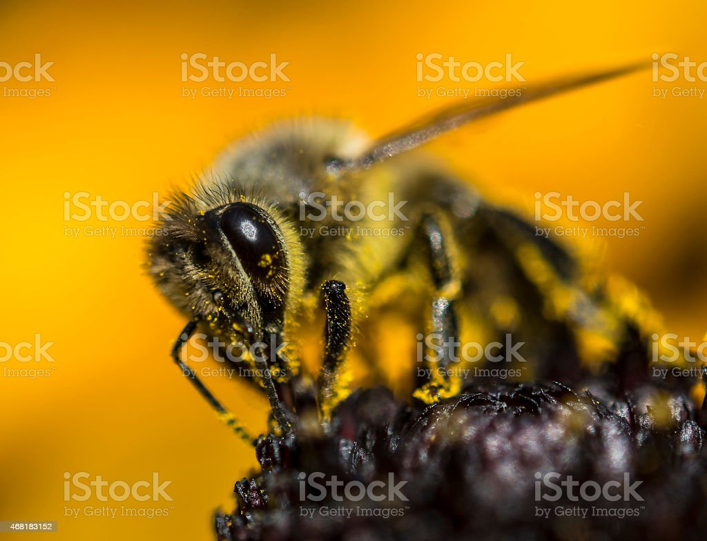 Bee on the yellow coneflower stock photo