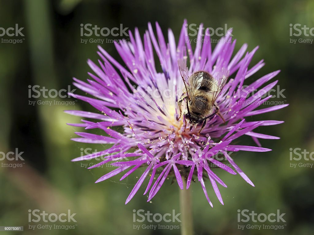 Bee on thistle 01 stock photo