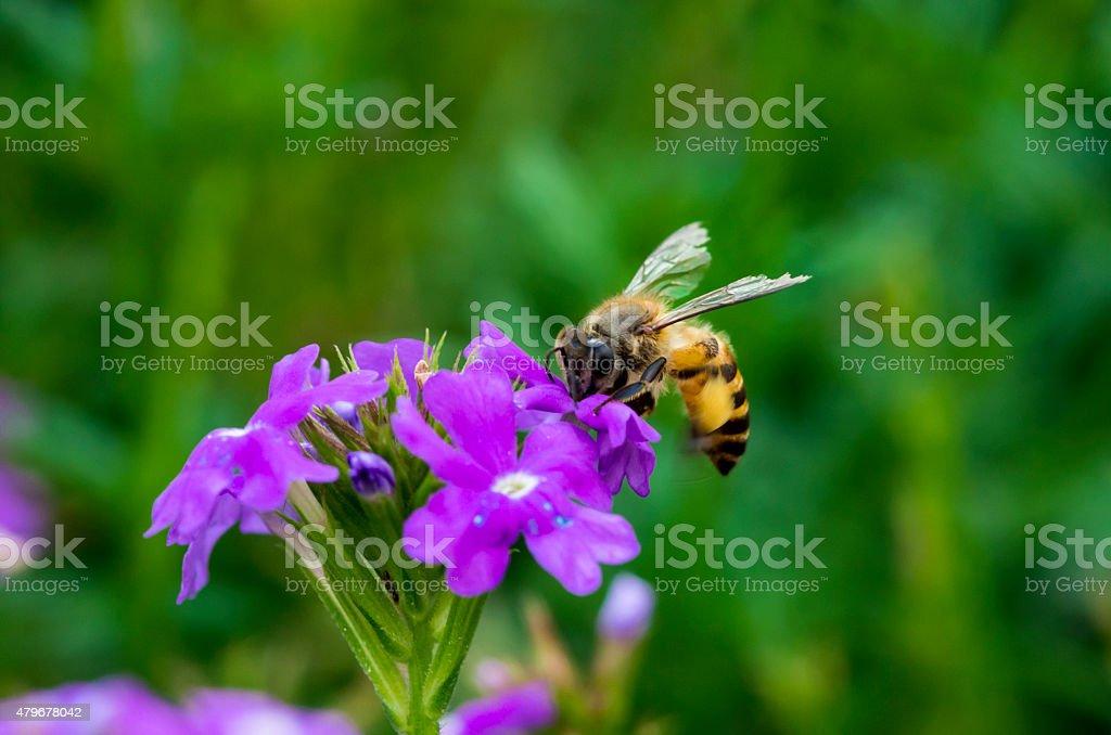 Bee on vegetable mercury flower stock photo