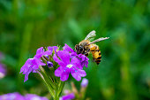 Bee on vegetable mercury flower