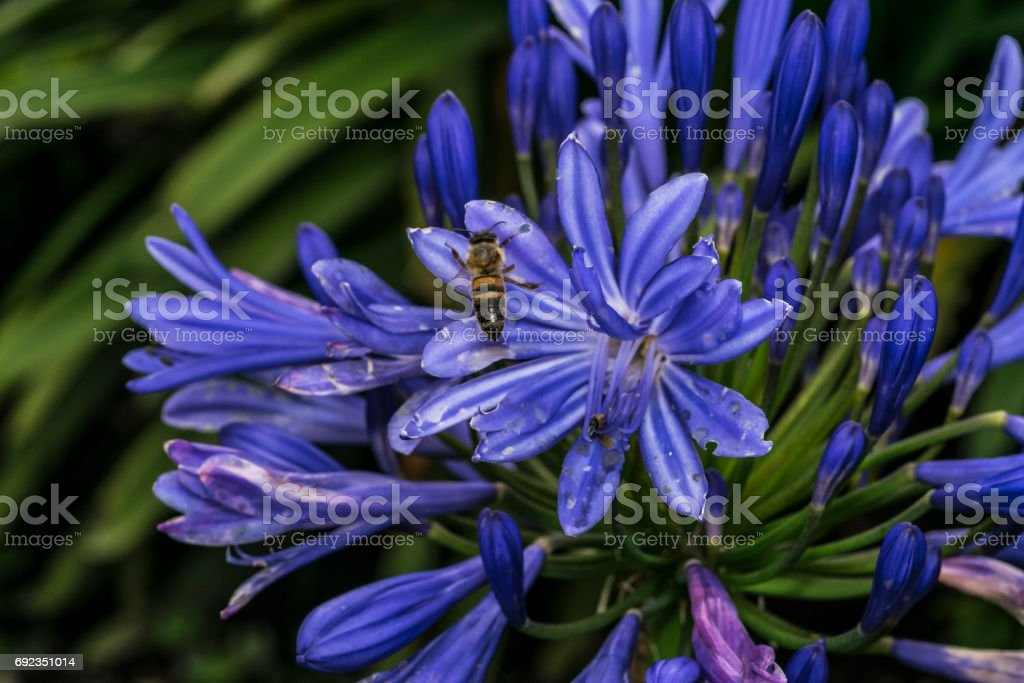 Bee on violet blue flowers in a garden stock photo