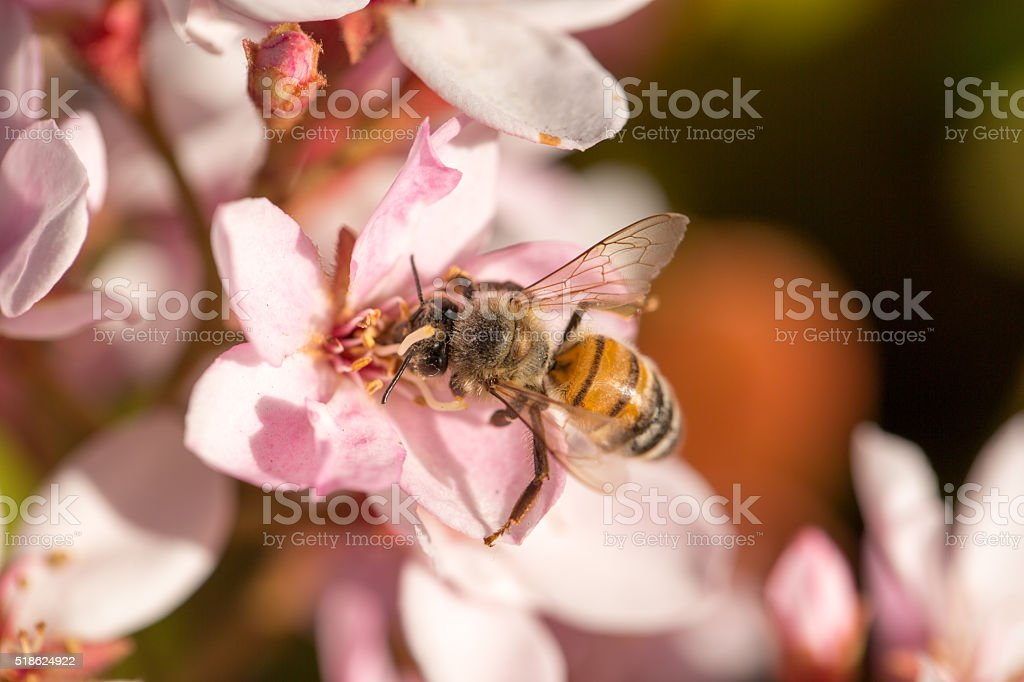 Bee (Anthophila) on white and pink flowers stock photo