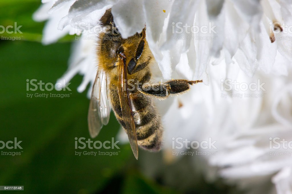 Bee on white blossom stock photo
