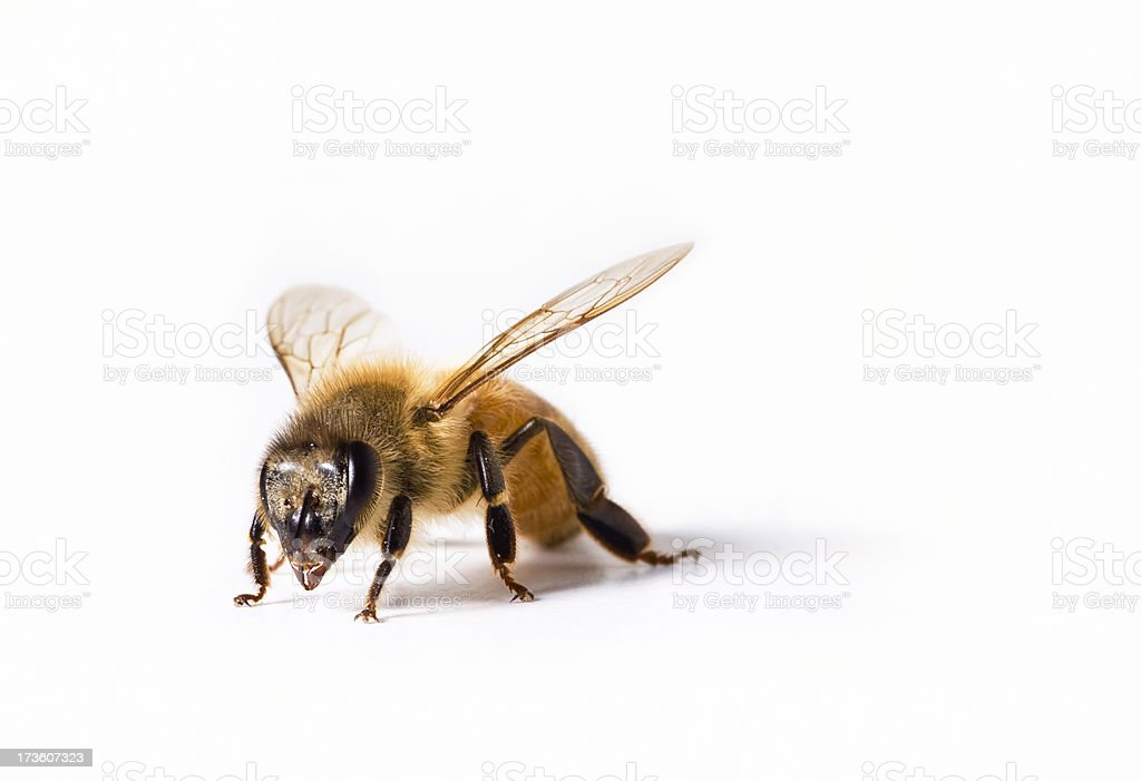 Bee on White royalty-free stock photo