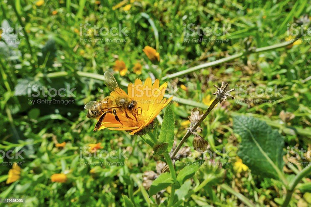 Bee on wild flower. stock photo