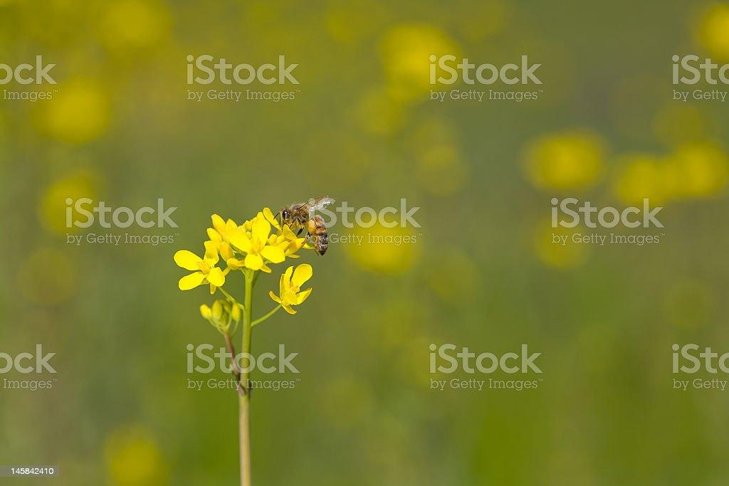 Bee on Wild Mustard stock photo