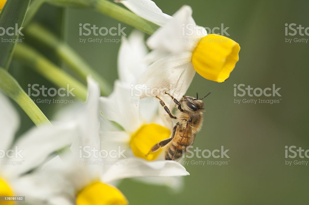 Bee on Winter Narcissus royalty-free stock photo