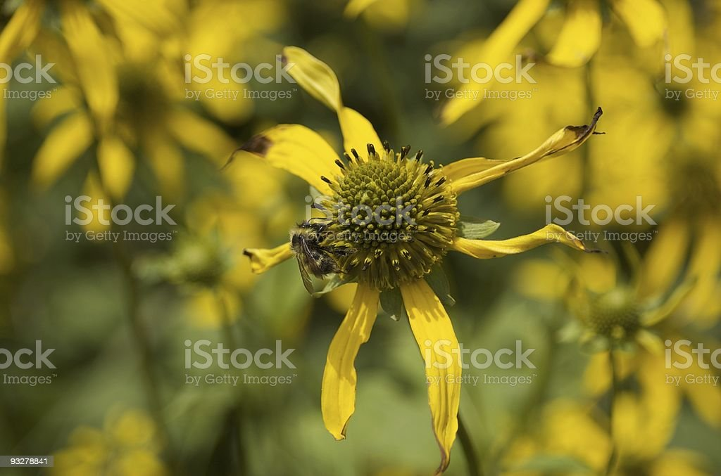 Bee on Yacon Flower stock photo