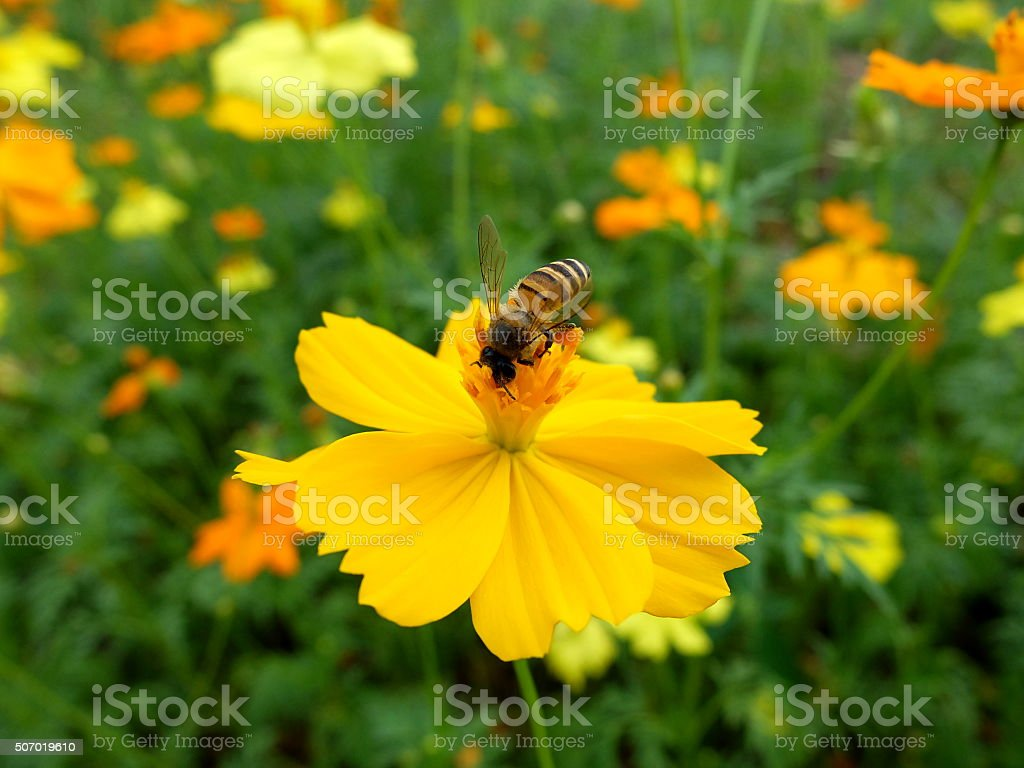 Bee on yellow cosmos flower stock photo