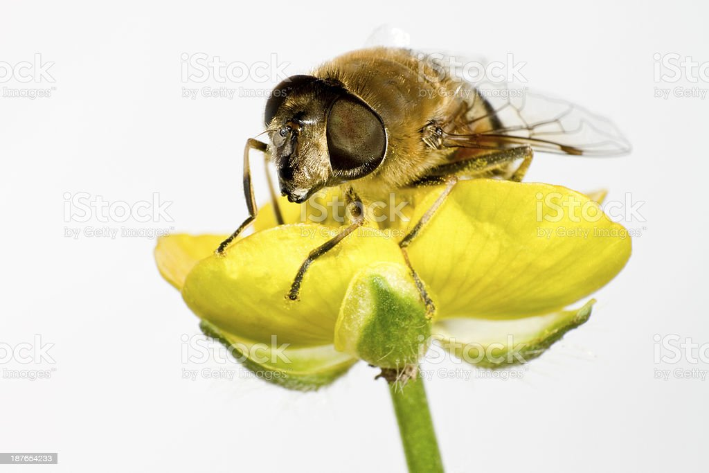 bee on yellow flower in extreme close up royalty-free stock photo