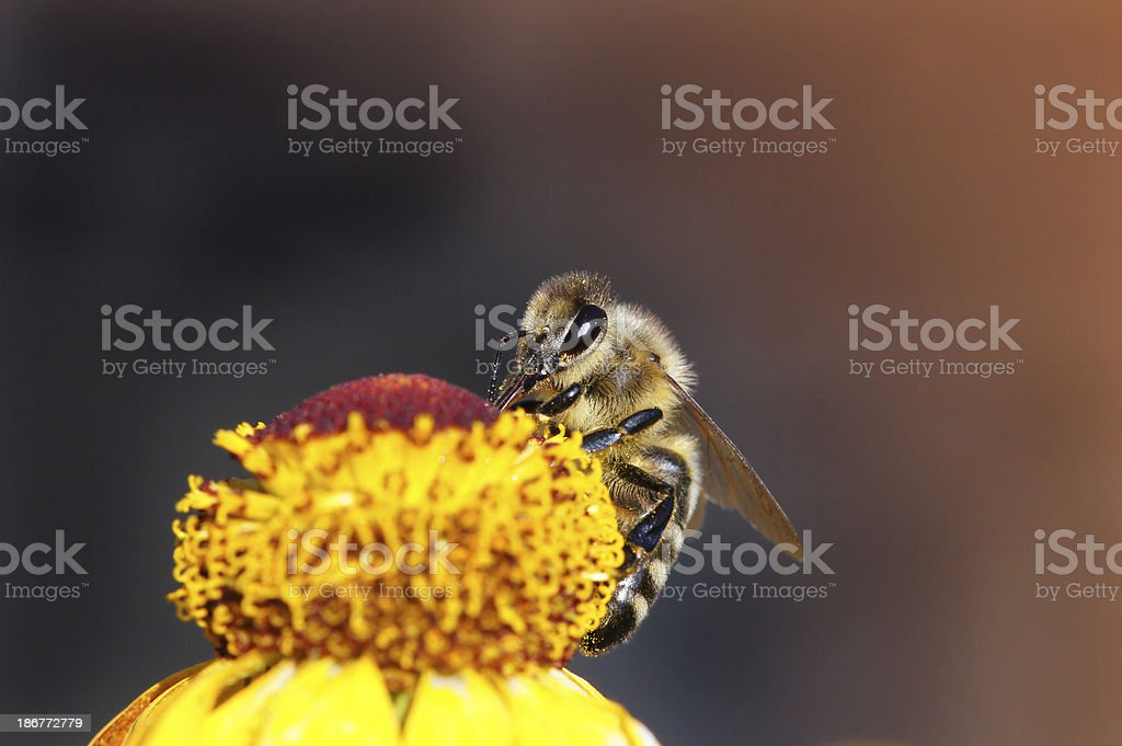 Bee on yellow helenium royalty-free stock photo