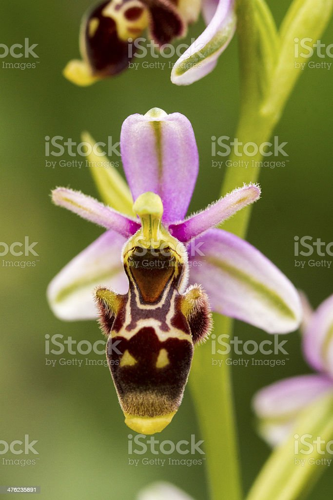 Bee Orchid (Ophrys apifera) flower royalty-free stock photo