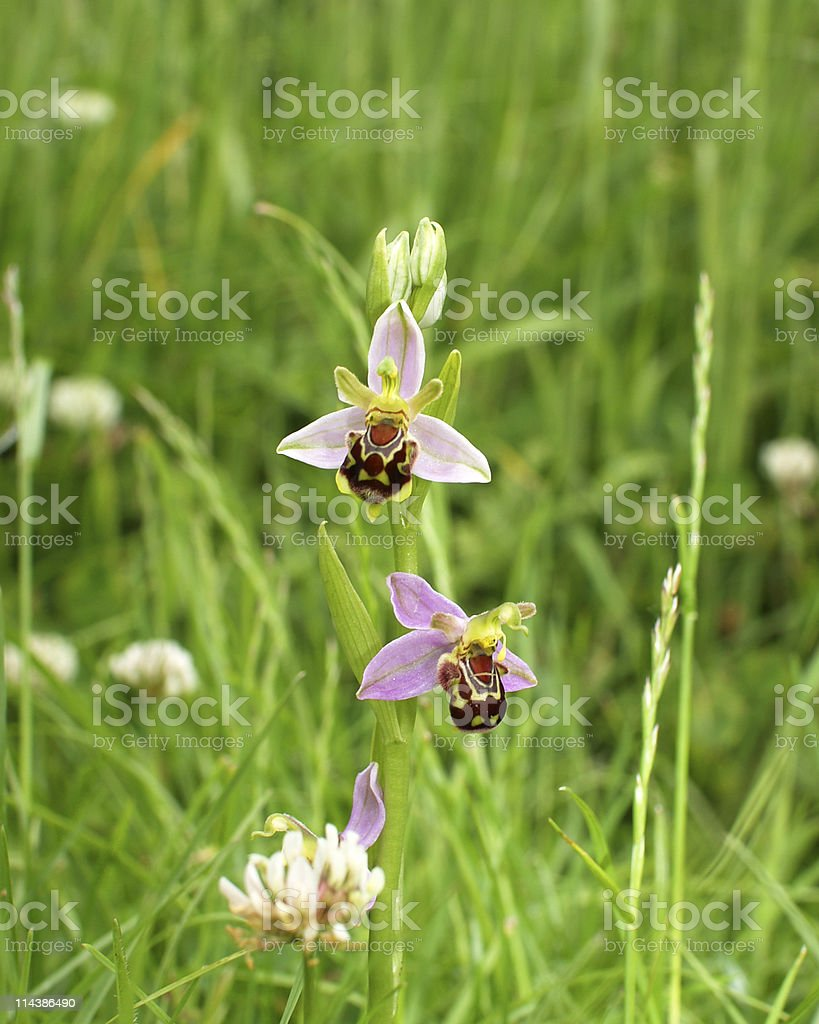 Bee Orchid (Orchis abeille) royalty-free stock photo