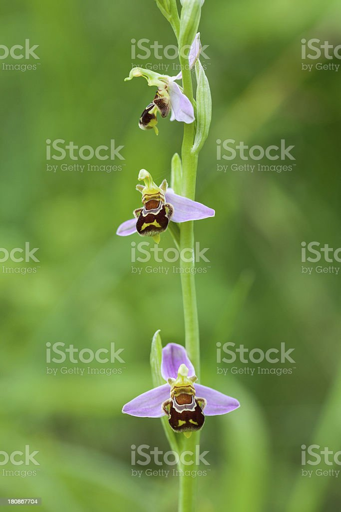 Bee orchid (Ophrys apifera) XXXL royalty-free stock photo