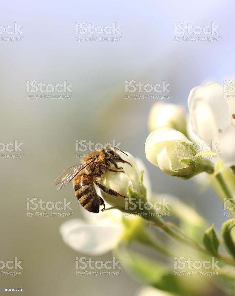 Bee royalty-free stock photo