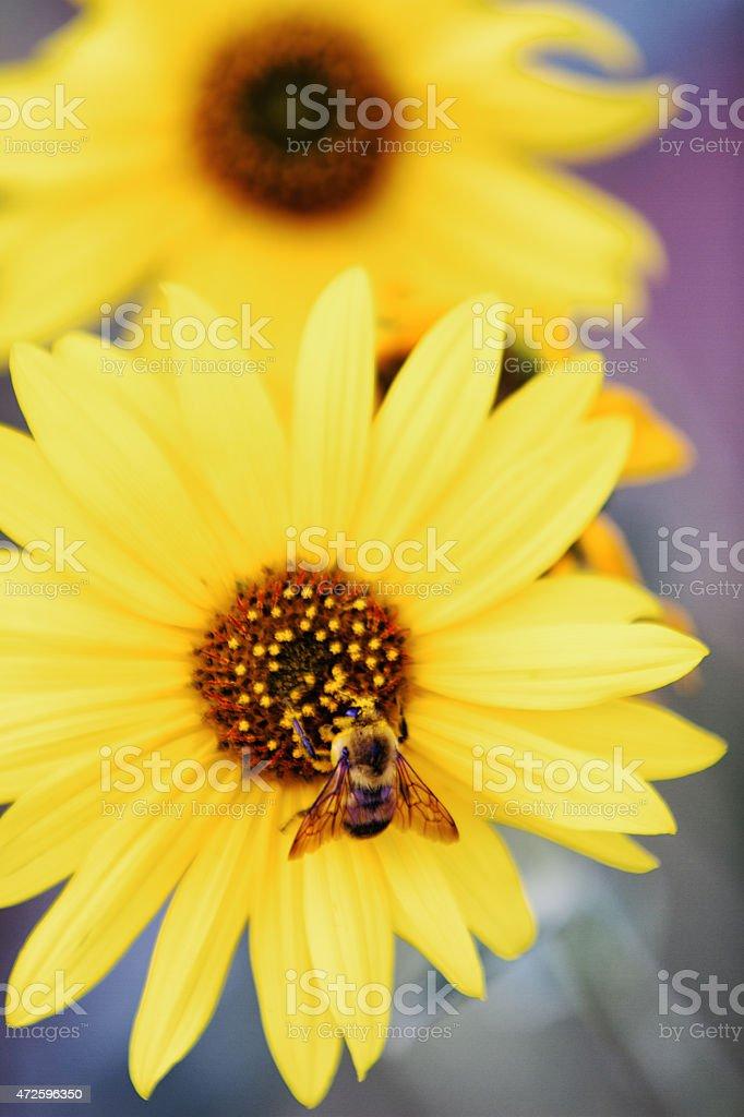 Bee Pollenating a Yellow Daisy Sunflower stock photo
